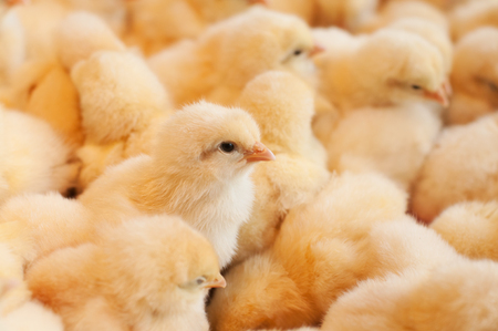Baby chicken hatched from an eggs in incubator on a chicken farm. Stock Photo
