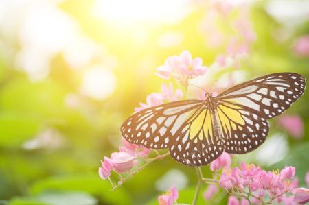 Bouchent papillon. Parantica aspasia (tigre jaune vitreux) se nourrissant de fleurs.