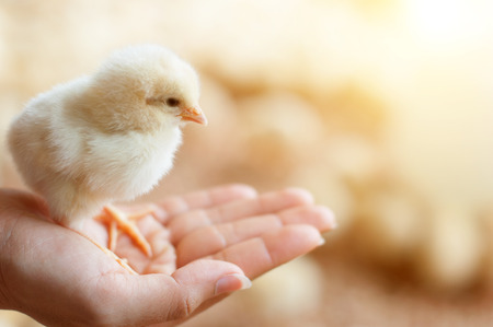 Close view of baby chick in girls hand