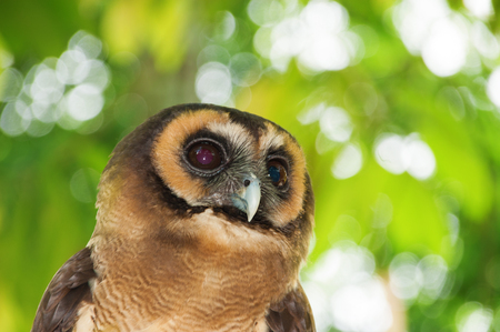 forked: Brown wood owl (Strix leptogrammica) is an owl which is a resident in south Asia from India, Bangladesh and Sri Lanka east to western Indonesia and south China.