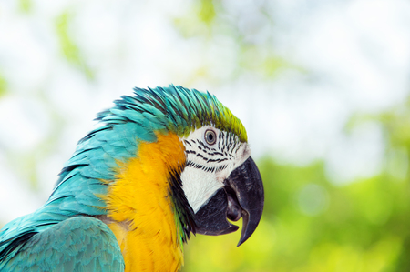 psittacidae: Blue and yellow macaw or blue and gold macaw, Ara ararauna, bird of the Psittacidae family and one of the most famous parrots of the world.