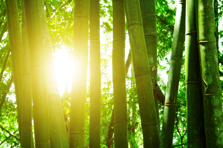 Asian bamboo forest landscape with morning sun flare.