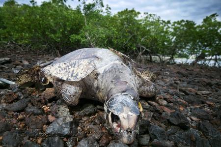 マングローブ エリア、ポートディクソン、マレーシア、アジアで死んだウミガメ