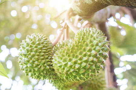 Close up fresh durian on the tree in the garden, king of fruit, with beautiful sun light.
