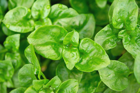 Fresh green Brazilian spinach plant 版權商用圖片