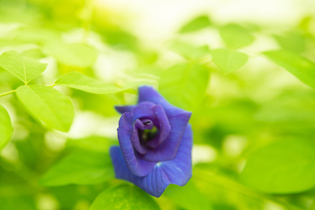 Blue butterfly pea flowers tree plant close up. Stock Photo