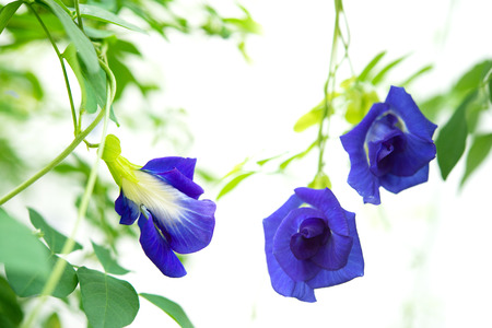 Blue butterfly pea flowers tree plant isolated white Stock Photo