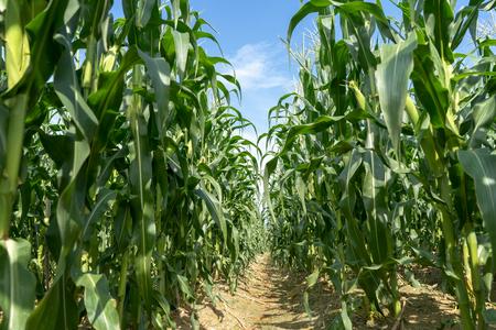 Plantación de campo de maíz en un día soleado con cielo azul. Foto de archivo
