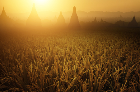 Paddy rice fields in sunrise, Bagan temple