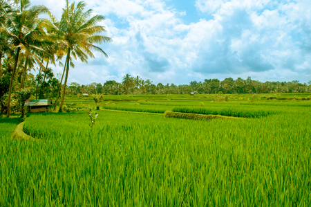 Paddy rice field in early stage at Bali, Indonesia. Stockfoto