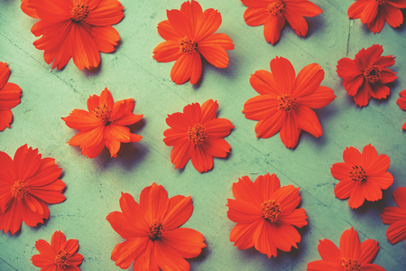 Orange cosmos flower wallpaper
