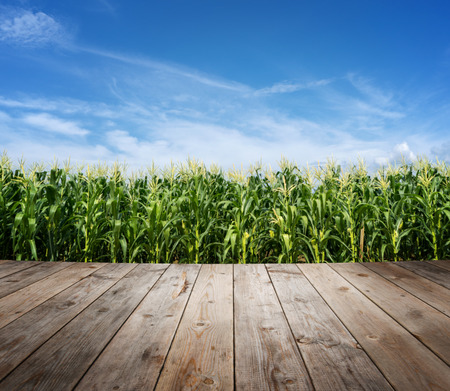 Wood floor at corn field plantation in sunny day with blue sky. Stockfoto