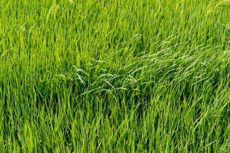 Campos de arroz con cáscara
