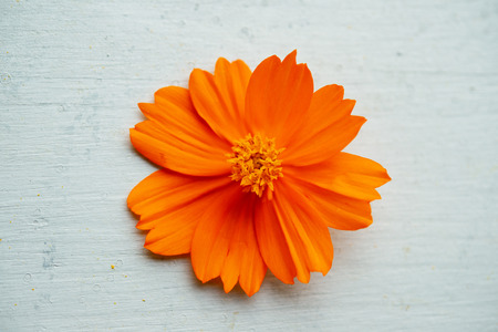 Orange cosmos flower on blue wooden