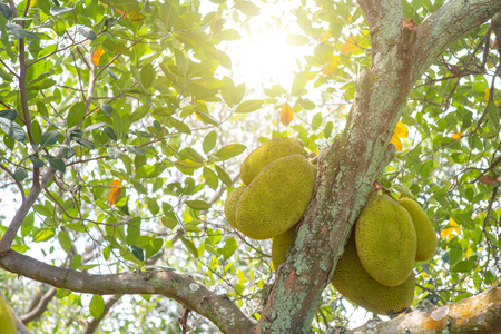 Jackfruit is hanging on the tree.