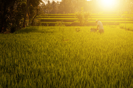 Terrace paddy rice fields in evening sunset, Bali, Indonesia. Stockfoto