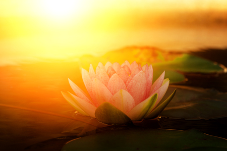 Beautiful pink lotus flower and leaves with sun light in pond.