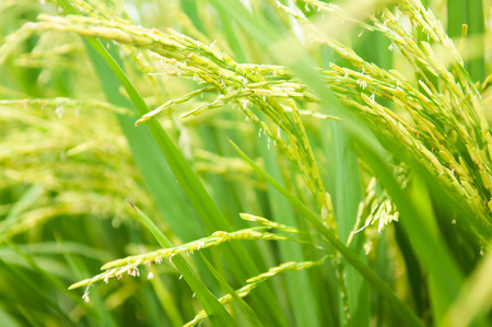 Close up paddy rice plant. Stockfoto