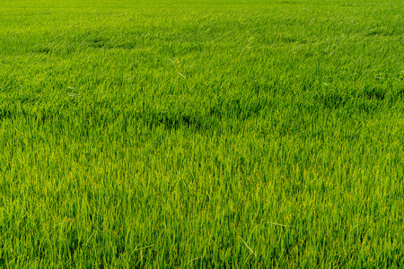 Paddy rice fields