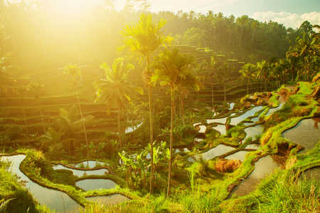Terrace paddy rice fields in morning sunrise, Ubud, Bali, Indonesia