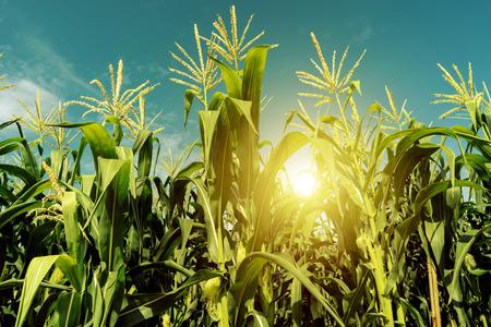 Maïsveldplantage in zonsopgang. Stockfoto