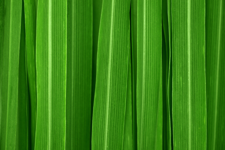 Fresh green lemongrass leaves