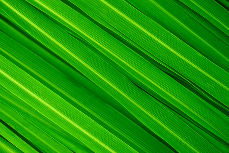 Fresh green lemongrass leaves full frame. Stockfoto
