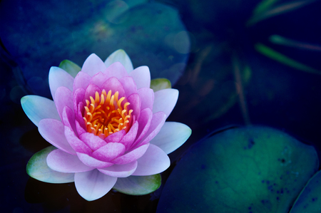 Beautiful pink lotus flower and leaves in pond. Stockfoto