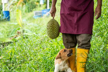 Farmer holding Musang king durian in orchard. Imagens