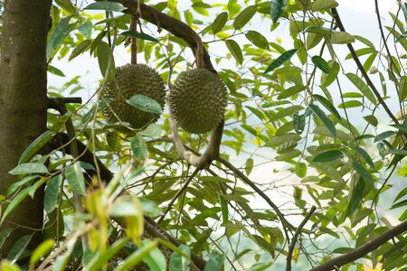 Malaysia famous king of fruits Blackthorn durian tree.