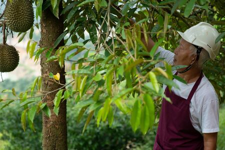 Farmer and Blackthorn durian tree in orchard.