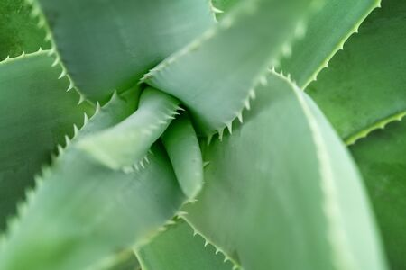 Close up aloe vera plant, full frame.