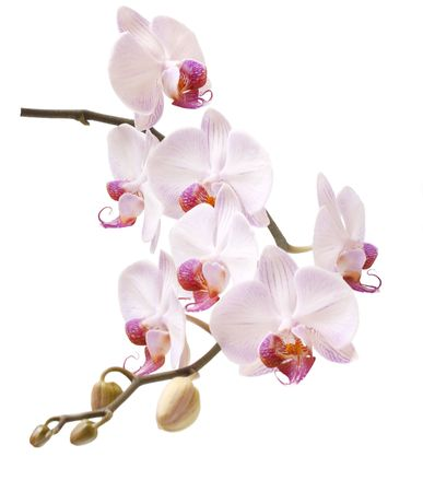 season photos: Beautiful, delicate an exotic flower on a white background. Stock Photo