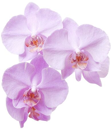 royalty: Pink Orchid