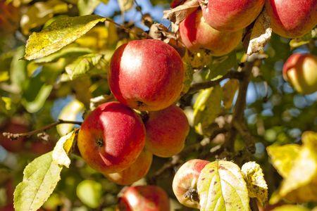 free stock photos: Apples on the tree