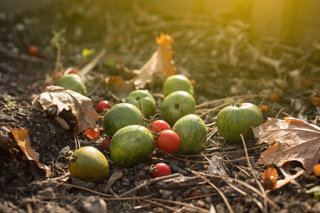 Red and Green Unripe Tomatoes in Late Autumn Garden Banque d'images
