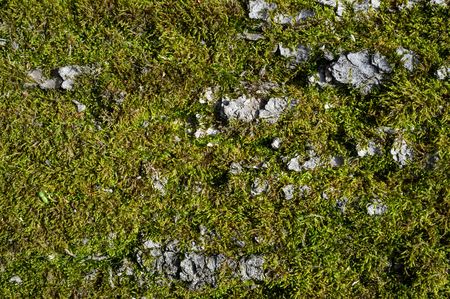 Tree Bark or Rhytidome covered with Green Moss Texture Detail in Spring Forest