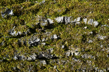 Poplar Tree Bark or Rhytidome covered with Green Moss Texture Detail in Spring Forest