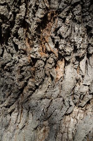 Corteccia d'albero o dettaglio texture Rhytidome nella foresta di primavera