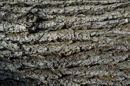 Populus Nigra or Black Poplar Tree Bark or Rhytidome Texture Detail in Spring Forest Archivio Fotografico