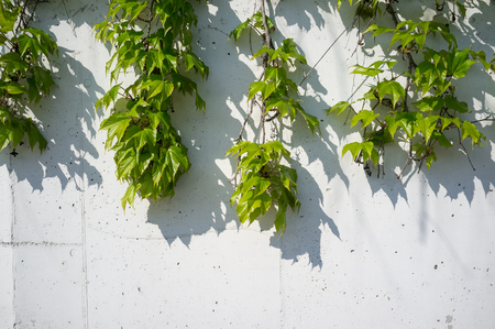 White Concrete Wall Overgrown with Fresh and Green Boston Ivy