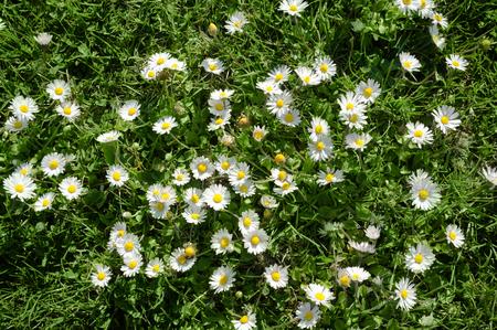 Bunch of Wild Daisies in Green Grass and Spring Sunlight Reklamní fotografie