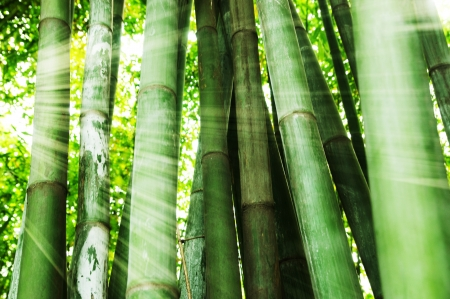 bamboo tree: Morning sunlight shining on bamboo forest