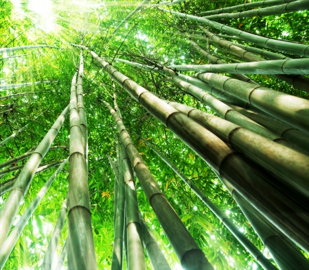 bamboo background: bamboo forest with morning sunlight Stock Photo