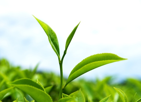 tea estates: close up of fresh tea leaves