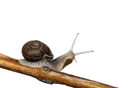 Snail on branch with white background and clipping path photo