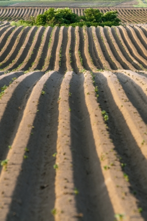 Straight dirt potato lines in agricultural area at springtime before sprouting photo