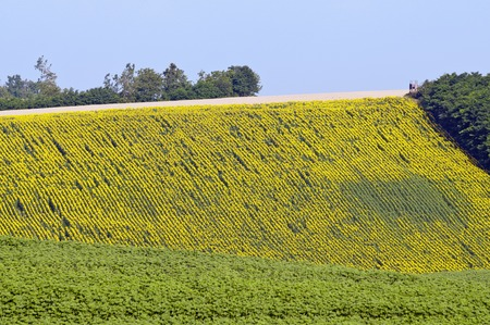 agricultural area: Sunflower agricultural area with different size of flowers