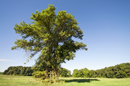 Huge summer tree alone on the meadow with ladder to the hunting stand photo