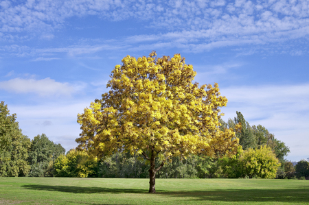 Sunny colorful autumn tree in the park with blue sky, green grass and some shade photo